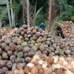 Banyuasin Bakal Ekspor Produk Turunan Sabut Kelapa